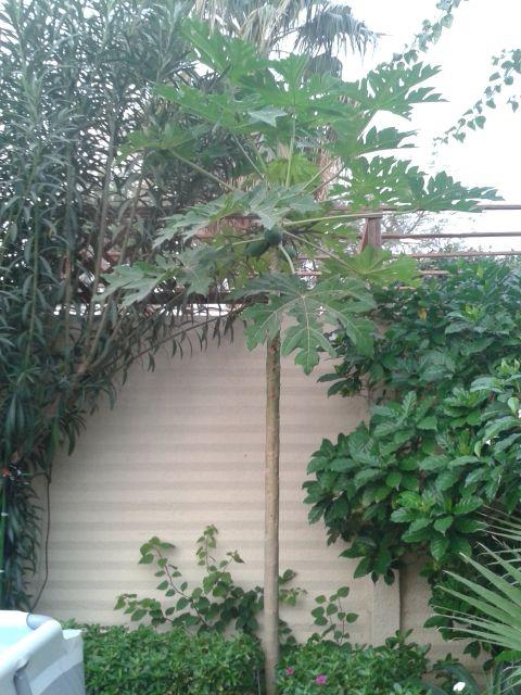 wie lange lebt eine papaya garten und fuchsienfreunde. Black Bedroom Furniture Sets. Home Design Ideas