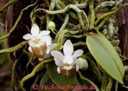 Phaleonopsis Garten Und Fuchsienfreunde