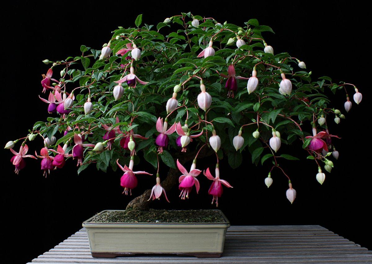 fuchsie 39 lena 39 als bonsai seite 7 garten und. Black Bedroom Furniture Sets. Home Design Ideas