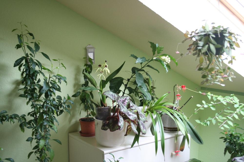 zimmer orchideen pflege