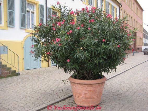 nerium oleander oleander garten und fuchsienfreunde. Black Bedroom Furniture Sets. Home Design Ideas
