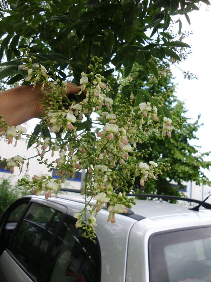 sophora japonica japanischer perlschnurbaum garten und fuchsienfreunde. Black Bedroom Furniture Sets. Home Design Ideas