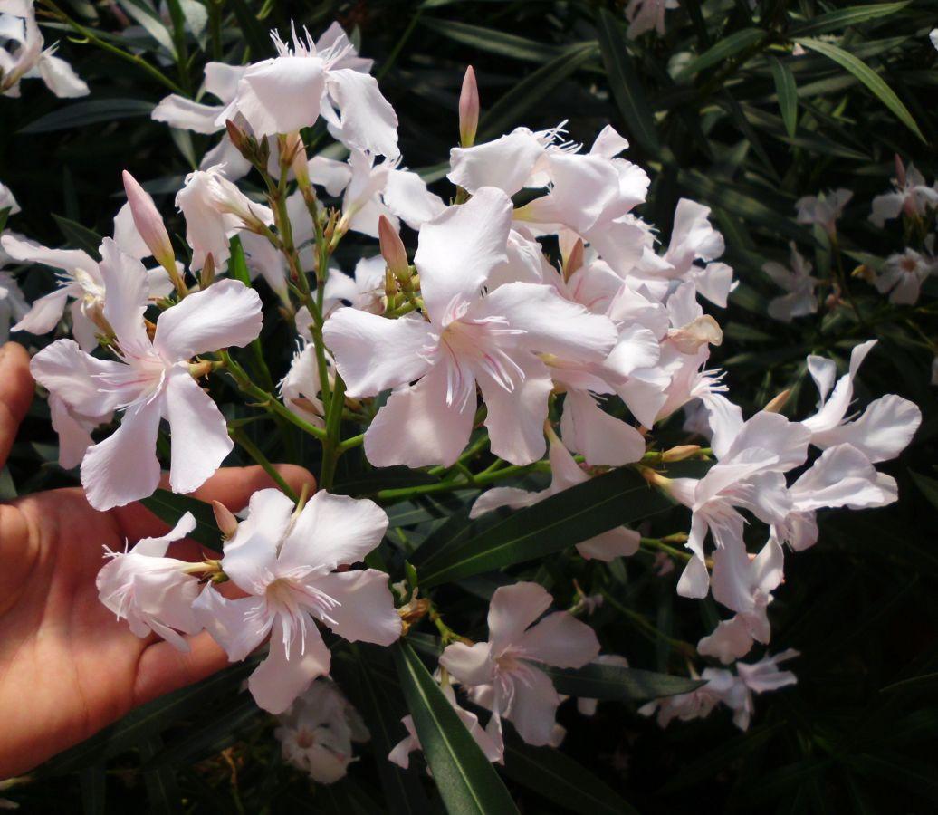 Oleander Standort Garten: Garten- Und Fuchsienfreunde