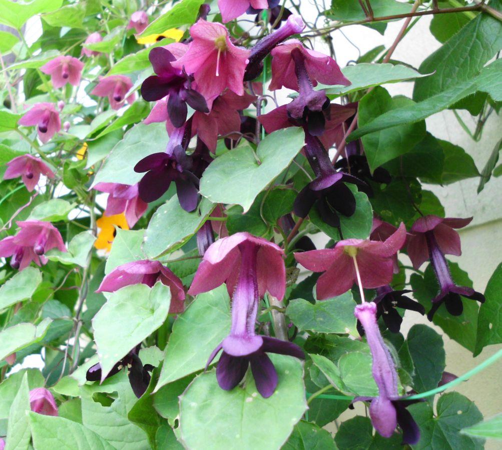 rhodochiton atrosanguineus rosenkelch purpurglockenwein. Black Bedroom Furniture Sets. Home Design Ideas