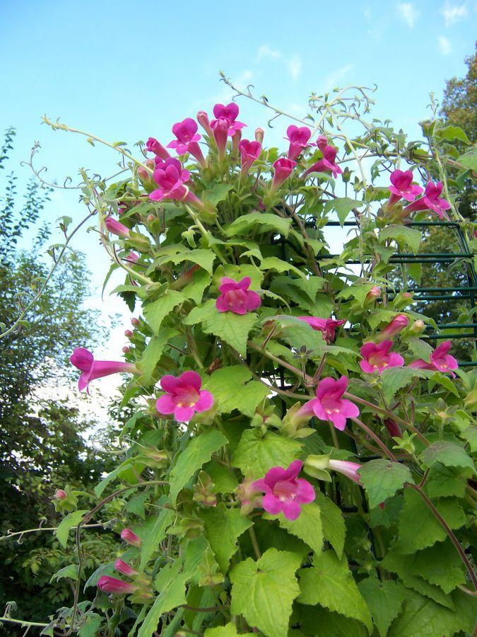Kletterpflanze Halbschattig lophospermum erubescens klettergloxinie garten und fuchsienfreunde