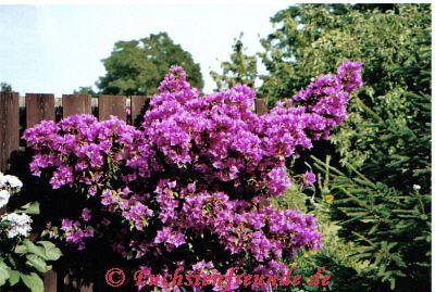 Bougainvillea glabra - Drillingsblume - Garten- und Fuchsienfreunde