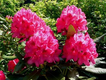 rhododendron schneiden seite 2 garten und. Black Bedroom Furniture Sets. Home Design Ideas