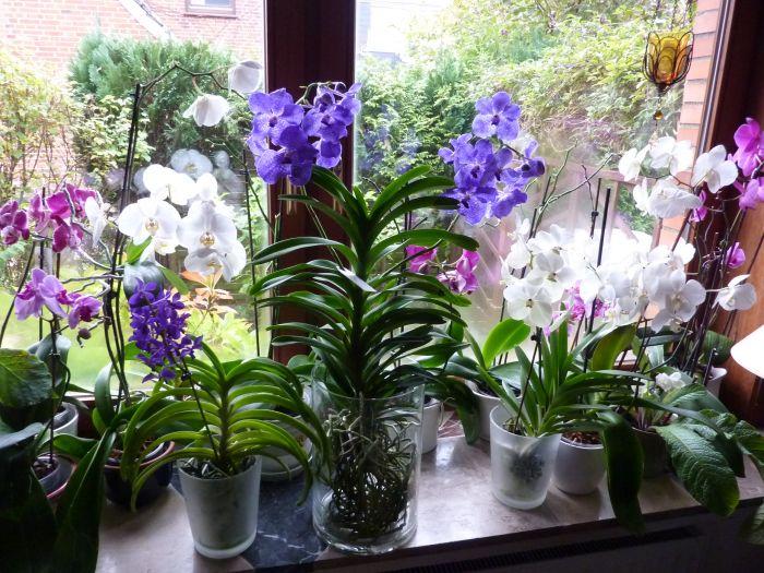 die orchideenfenster von ursel seite 6 garten und fuchsienfreunde. Black Bedroom Furniture Sets. Home Design Ideas