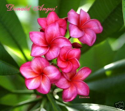 DONALD ANGUS - strong fragrance -  easy to root.jpg